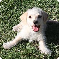 Adopt A Pet :: Ice - Henderson, NV
