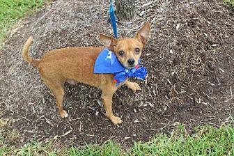 Chihuahua Mix Dog for adoption in Missouri City, Texas - Kermit