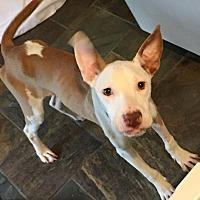 Adopt A Pet :: NINO - Memphis, TN