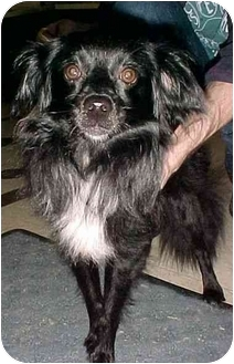 Pomeranian Mix Dog for adoption in North Judson, Indiana - Wizard