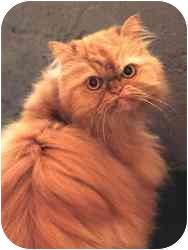 Persian Cat for adoption in Seattle, Washington - Honey