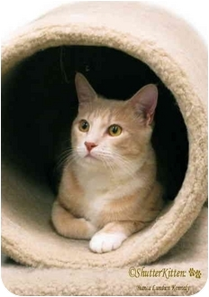 Domestic Shorthair Cat for adoption in San Diego, California - Tristen