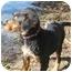 Photo 3 - Australian Shepherd/Boykin Spaniel Mix Puppy for adoption in Glenburn, Maine - Dakota
