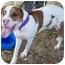 Photo 3 - American Bulldog/St. Bernard Mix Dog for adoption in Sacramento, California - Preston-Moose big boy
