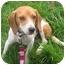 Photo 3 - Beagle Dog for adoption in Portland, Ontario - cadeau