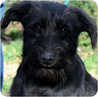 "Schnauzer (Miniature)/Miniature Poodle Mix Puppy for adoption in Wakefield, Rhode Island - APPLE(""SCHNAUZER-DOODLE"")WOW!!"