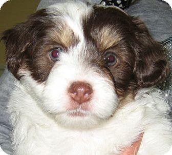 Shih Tzu/Poodle (Miniature) Mix Puppy for adoption in Thousand Oaks, California - Oreo