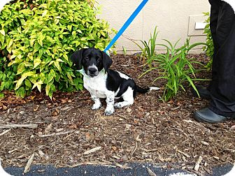 Basset Hound Mix Puppy for adoption in Bluff city, Tennessee - OLIVER-THE CUTEST PUPPY EVER!