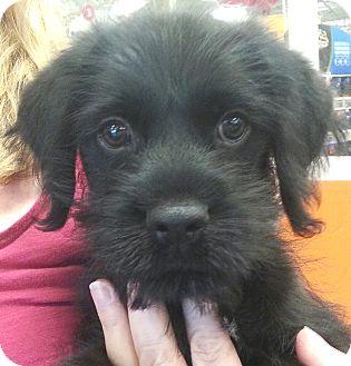 Schnauzer (Standard) Mix Puppy for adoption in Orlando, Florida - Rosado#1M