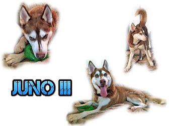 Siberian Husky Dog for adoption in Seminole, Florida - Juno III