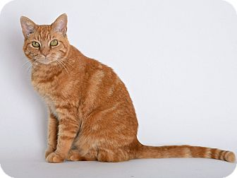 Domestic Shorthair Cat for adoption in San Andreas, California - Maybelline