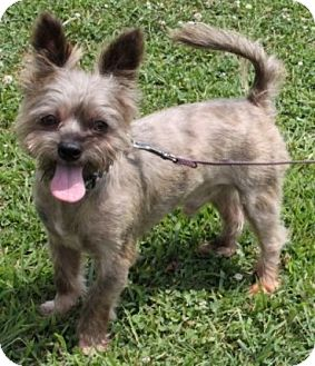 Silky Terrier Mix Dog for adoption in Salem, New Hampshire - Wizz