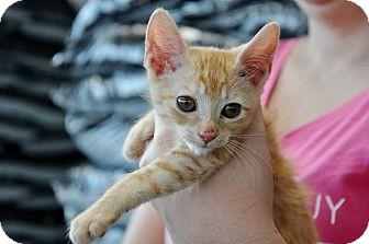 Domestic Shorthair Kitten for adoption in Evans, Georgia - KC