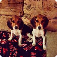 Adopt A Pet :: Snoopy - Marlton, NJ