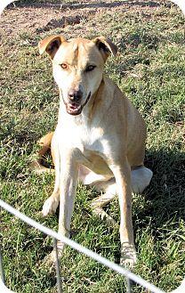 Rhodesian Ridgeback/Labrador Retriever Mix Dog for adoption in Waller, Texas - Tye
