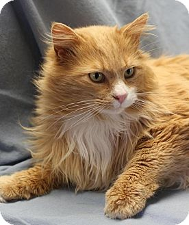 Maine Coon Cat for adoption in Winston-Salem, North Carolina - Gus