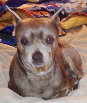 Miniature Pinscher Dog for adoption in Seward, Alaska - Heuro