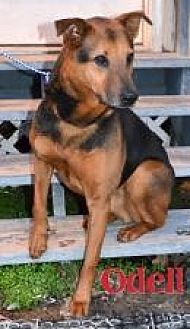 Shepherd (Unknown Type) Mix Dog for adoption in Jackson, Mississippi - Odell
