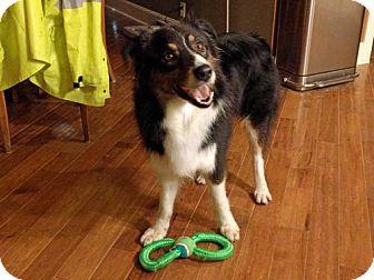 Australian Shepherd Dog for adoption in St. Louis, Missouri - Jackson