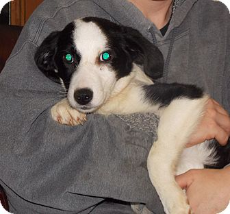 Border Collie Mix Puppy for adoption in Earlville, New York - Oreo
