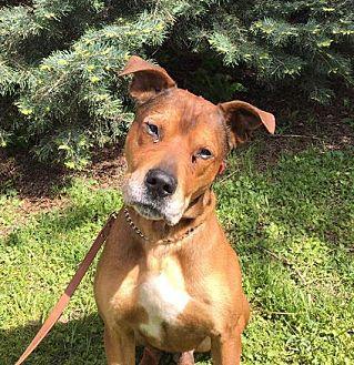Retriever (Unknown Type)/Hound (Unknown Type) Mix Dog for adoption in Detroit, Michigan - Wayne