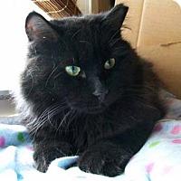 Adopt A Pet :: Shotsky - Merrifield, VA