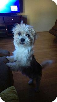 Shih Tzu Mix Dog for adoption in Apache Junction, Arizona - Sassy