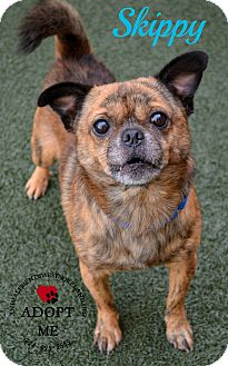 Pug/Chihuahua Mix Dog for adoption in Youngwood, Pennsylvania - Skippy