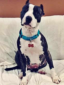 American Staffordshire Terrier Mix Dog for adoption in Whitestone, New York - Jodi