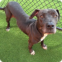 Adopt A Pet :: Tyson - Edgewater, NJ