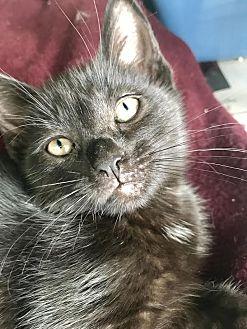 Domestic Shorthair Kitten for adoption in Island Park, New York - Magic