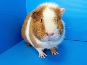 Guinea Pig for adoption in Lewisville, Texas - Jem