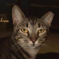 Domestic Shorthair/Domestic Shorthair Mix Cat for adoption in Converse, Texas - CHELSEA