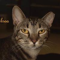 Adopt A Pet :: CHELSEA - Converse, TX