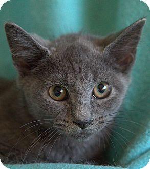Russian Blue Kitten for adoption in Staunton, Virginia - Andrei