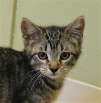 Domestic Shorthair/Domestic Shorthair Mix Cat for adoption in Hastings, Nebraska - Spaghetti