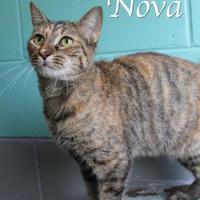 Adopt A Pet :: Nova - Bradenton, FL