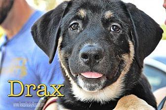 Siberian Husky Mix Puppy for adoption in Carrollton, Texas - Drax