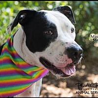 American Pit Bull Terrier Mix Dog for adoption in Grand Prairie, Texas - MISHKA