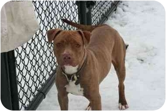 American Staffordshire Terrier Mix Dog for adoption in Islip, New York - Baby