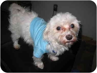 Maltese Mix Dog for adoption in Worcester, Massachusetts - Willie