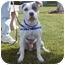Photo 3 - American Staffordshire Terrier/American Bulldog Mix Dog for adoption in San Clemente, California - MARIO-Handsome Romeo