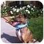 Photo 3 - Rhodesian Ridgeback/Boxer Mix Dog for adoption in Burbank, California - TIGGER