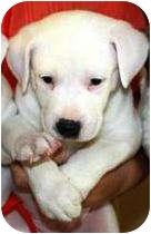 Australian Shepherd/Labrador Retriever Mix Puppy for adoption in Oswego, Illinois - Lauren