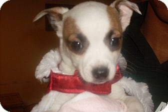 Chihuahua Mix Puppy for adoption in Foster, Rhode Island - Emmeline