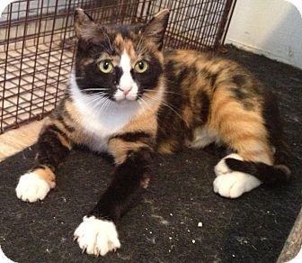 Domestic Shorthair Cat for adoption in Fredericksburg, Virginia - Amber