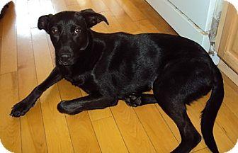 Labrador Retriever Mix Dog for adoption in Hamilton, Ontario - Tish