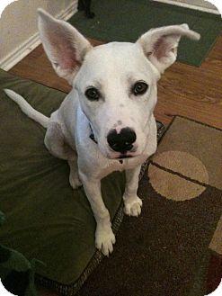 Labrador Retriever/Shepherd (Unknown Type) Mix Dog for adoption in Schertz, Texas - Ashton KP