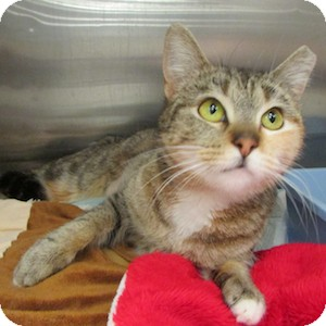 Domestic Shorthair Cat for adoption in Gilbert, Arizona - Ellie