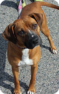 Boxer Mix Dog for adoption in Richmond, Virginia - Daphne